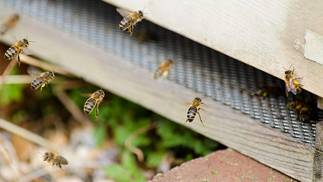 South London workers: busy Kairos bees pictured today at the entrance to their hive.